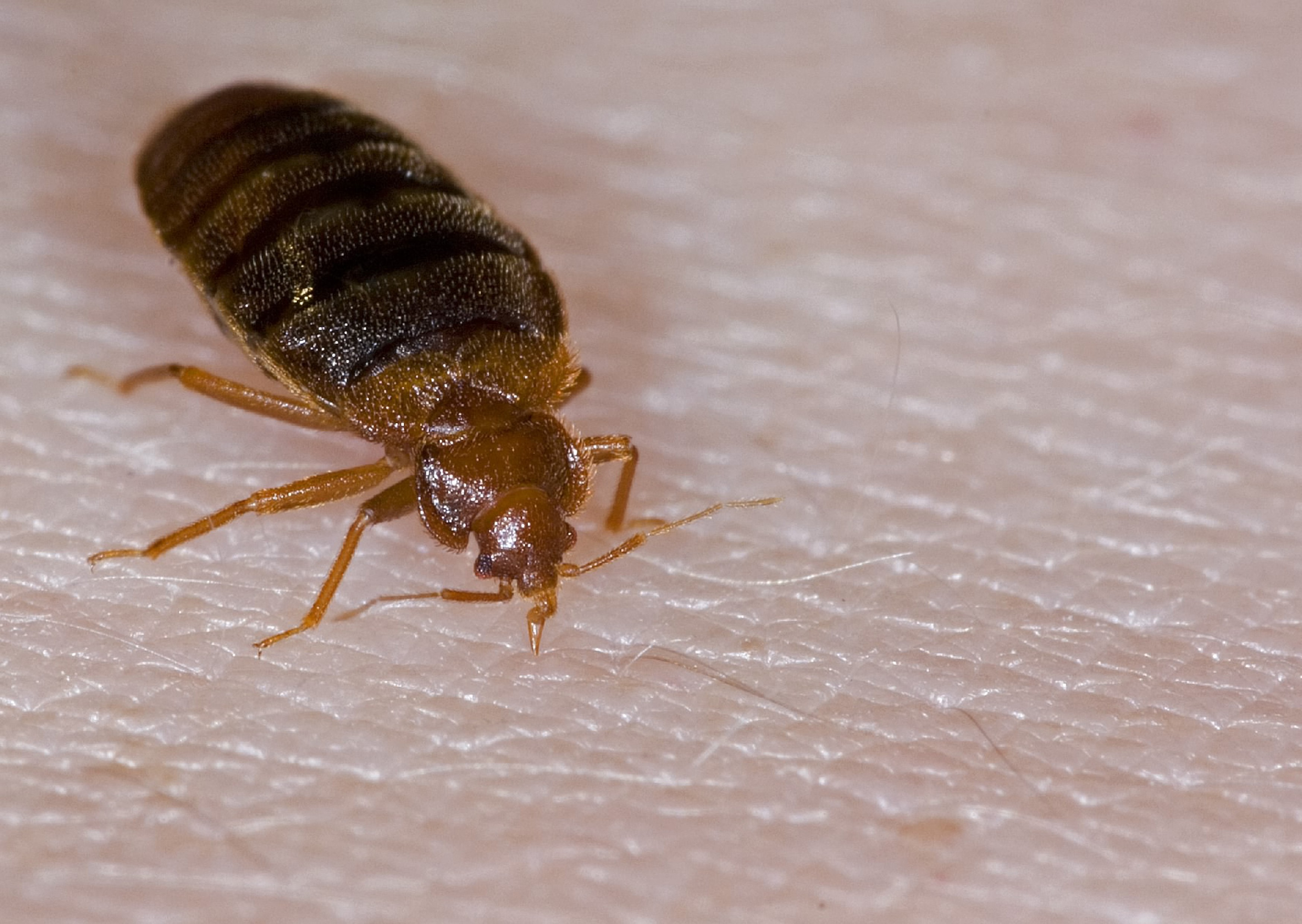 A Bed Bug: Can A Bed Bug Get In Your Hair